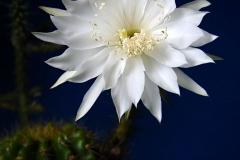 jbyrd-echinopsis calochlora_9408a8x10